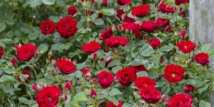 Climbing Rose