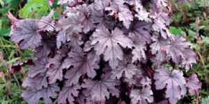 Heucherella <br />'Plum Cascade'