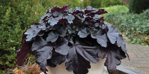 Heuchera