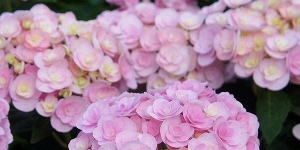 Hydrangea <br />'Love'