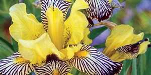 Iris