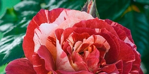 Rose; Climbing