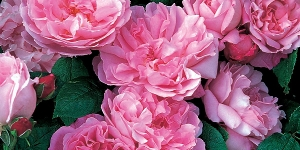 Rose; David Austin <br />'Mary Rose'