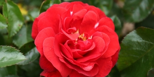 Rose; Floribunda