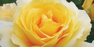 Rose; Hybrid Tea
