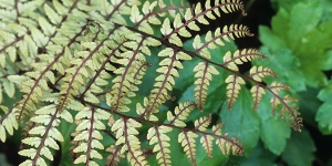 Fern- Athyrium otoporum