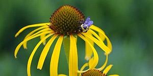 Echinacea paradoxa <br />Yellow Coneflower