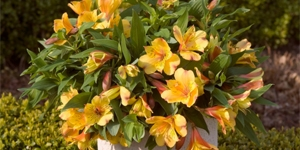 Alstroemeria Colorita <br />'Ariane'