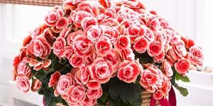 Begonia Hiemalis <br />'Borias'