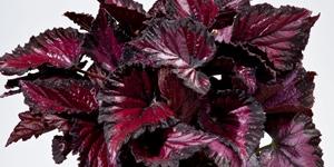 Begonia Shadow King <br />'Rothko'