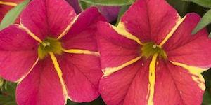 Calibrachoa Aloha Nani <br />'Red Cartwheel'