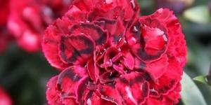 Dianthus <br />Super Trouper 'Butterfly Dark Red'