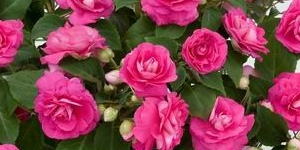 Double Impatiens Musica 