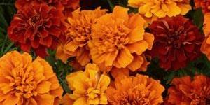 Marigolds <br />'Fireball'