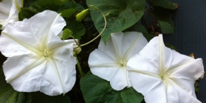 Morning Glory <br />'Moon Flower'