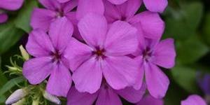 Phlox <br />Gisele 'Violet Light'