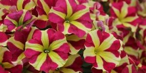 Petunia Amore <br />'Queen of Hearts'