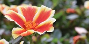 Portulaca Colorblast <br />'Mango Mojito'