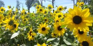 Sunflower <br />'Sunfinity'