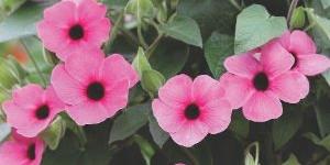Thunbergia Arizona <br />'Rose Sensation'