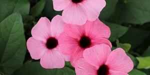 Thunbergia <br />'Rose Sensation'