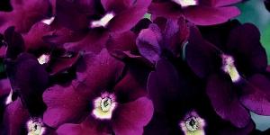 Verbena <br />Lanai 'Royal Purple w/Eye'