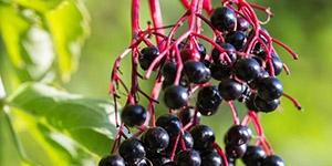 Elderberry Adams