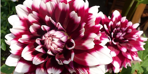 Dinner Plate Dahlias