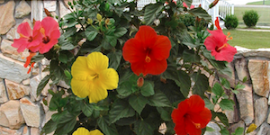 Hibiscus Tree