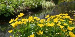 Caltha palustris <br />'Marsh Marigold'