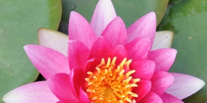 Water Lily <br />'Attraction'