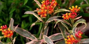 Asclepias