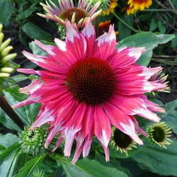 Featured Plants & Flowers - Eckerts Greenhouse - EchinaceaPlayfulMeadowMama_FP