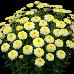 Featured Plants & Flowers - Eckerts Greenhouse - LeucanthemumLuna_FP
