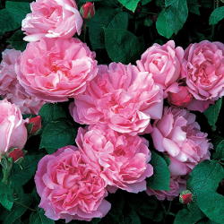 Featured Plants & Flowers - Eckerts Greenhouse - RoseDAMaryRose_FP