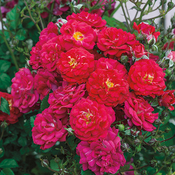 Featured Plants & Flowers - Eckerts Greenhouse - RosePolyanthaChildrensHope_FP