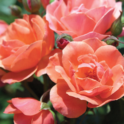 Featured Plants & Flowers - Eckerts Greenhouse - Coral_KnockOut