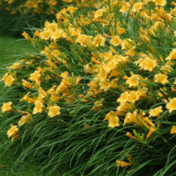 Featured Plants & Flowers - Eckerts Greenhouse - Daylily_StellaD'oro