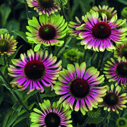 Featured Plants & Flowers - Eckerts Greenhouse - ECHINACEA_GreenTwister