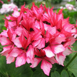 Featured Plants & Flowers - Eckerts Greenhouse - Geranium_FireworksBicolor