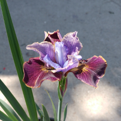 Featured Plants & Flowers - Eckerts Greenhouse - IRIS_PeacokBlackJoker