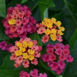 Featured Plants & Flowers - Eckerts Greenhouse - Lantana_BloomifyRose
