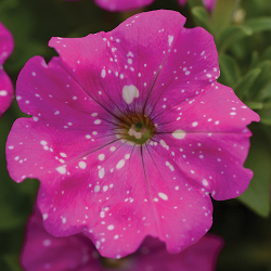 Featured Plants & Flowers - Eckerts Greenhouse - Petunia_HeadlinerPinkSky