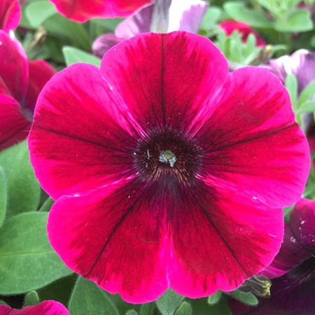 Featured Plants & Flowers - Eckerts Greenhouse - Petunia_SweettuniaSSuzieStorm