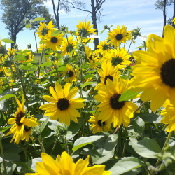 Featured Plants & Flowers - Eckerts Greenhouse - Sunflower_sunfinity