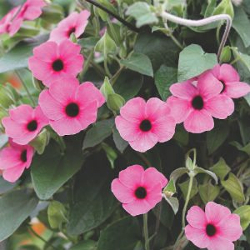 Featured Plants & Flowers - Eckerts Greenhouse - Thunbergia_ArizonaRoseSensation