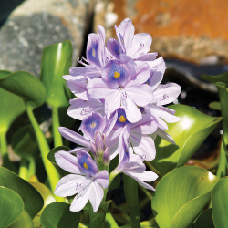 Featured Plants & Flowers - Eckerts Greenhouse - WaterHyacinth