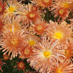 Featured Plants & Flowers - Eckerts Greenhouse - perennial_mum_peach_centerpiece