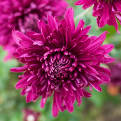 Featured Plants & Flowers - Eckerts Greenhouse - perennial_mum_purple_waters