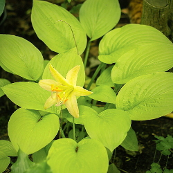 Featured Plants & Flowers - Eckerts Greenhouse - HOSTA_MiracleLemony